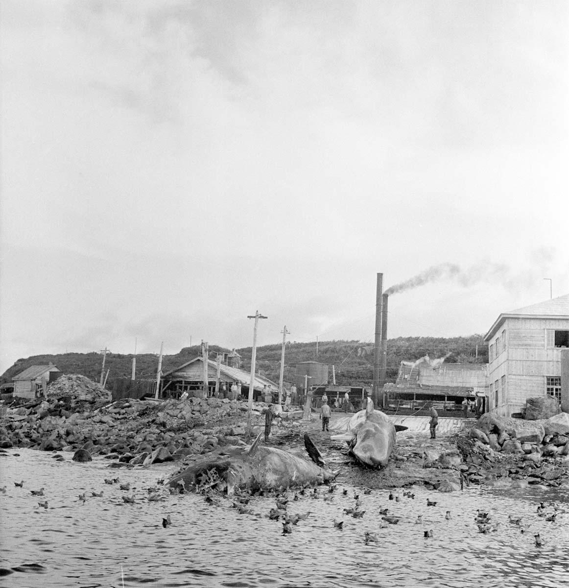 Kurilsk. Walvis Works, 1955