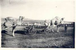 Sibay. The first transport on mine - camels, 1926