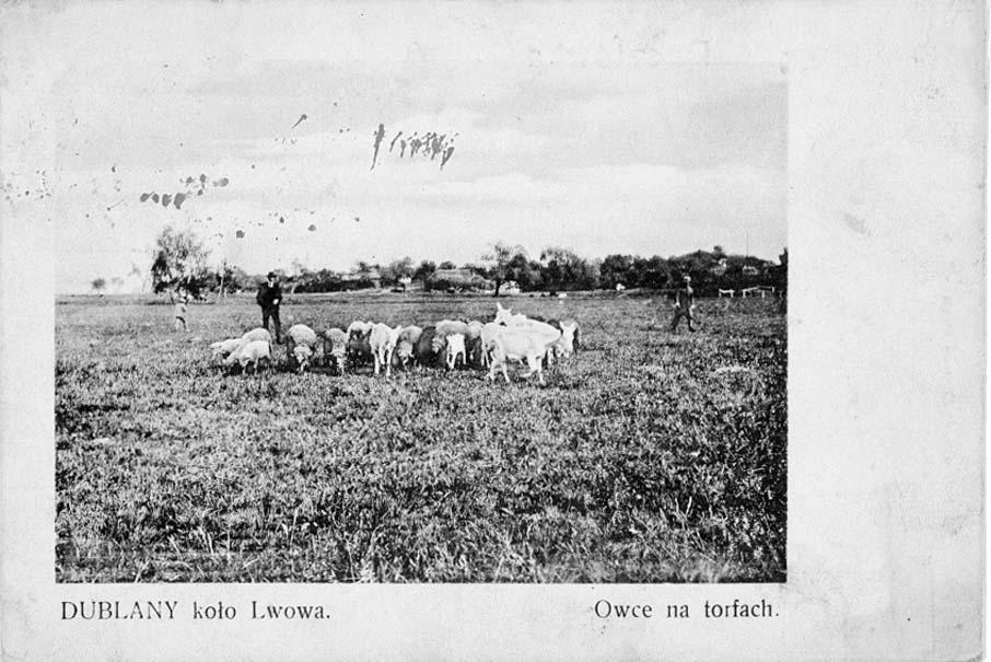 Dubliany. Sheep in the pasture